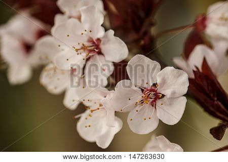 Plum Blossoms In The Spring