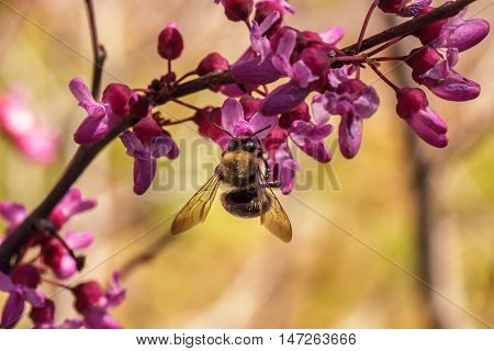 Bee Pollinating A Redbud Bloom