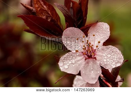 Spring Blossom On A Rainy Day