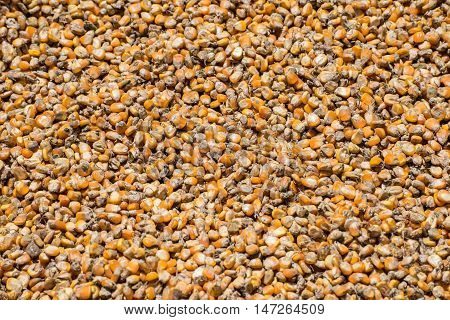 Corn seed background. Kernels of corn (or corn seeds) are used to make popcorn, feed animals, and make ethanol, among other uses.