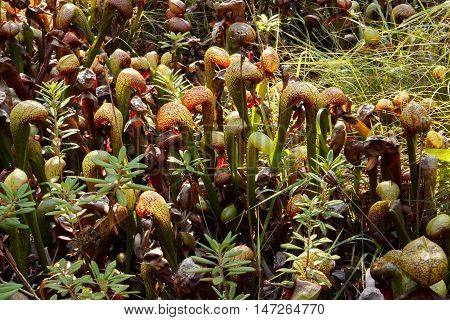 Field of cobra lilies (Darlingtonia californica) in a bog