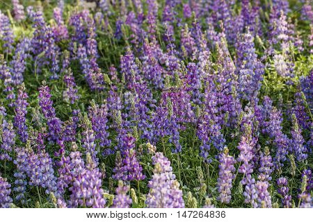 A field of purple lupine (Lupinus) a beautiful flowering perennial shrub
