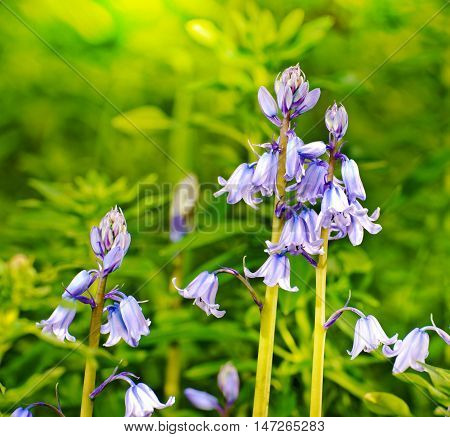 Blue bell-flower in the garden during spring season in afternoon light