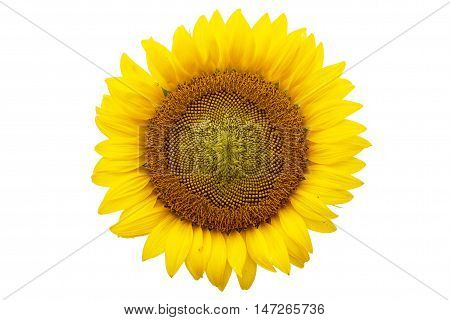 sunflower isolated on white background ,Single sunflower