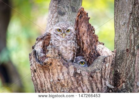 Little Owls in a hollow tree at nature park