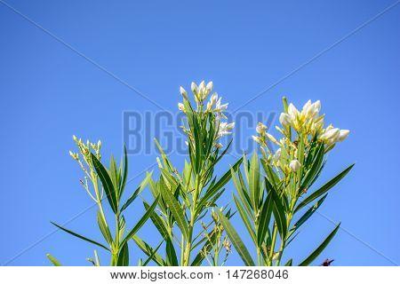 Nerium Oleander In The Blue Sky