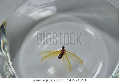 tussock moth water trap in glass bowl