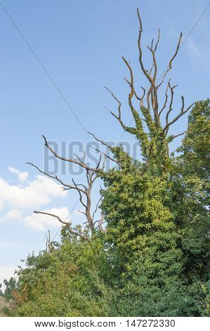 picture of dead trees overgrown with climbing plants