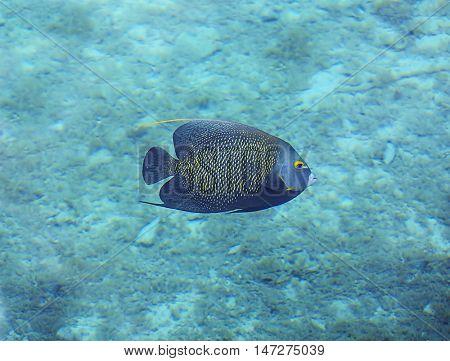 Underwater photo of a French Angelfish. Beautiful reef fish
