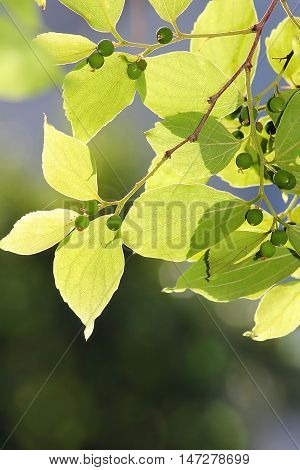 sunlit green leaves , as nature background