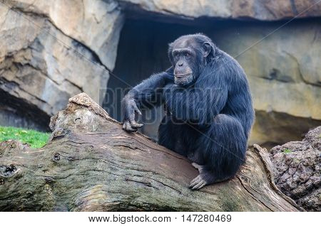 VALENCIA, SPAIN - MARCH 21, 2015: Chimpanzee in an animal-friendly zoo in Valencia Spain