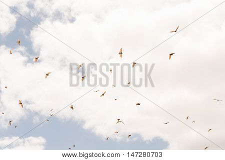 Many Red flying fox Pteropus scapulatus flying in cloudy sky