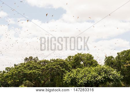 Hundreds of Pteropus scapulatus / flying fox flying in a swarm above trees in a park