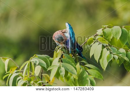Colorful bird Indian Roller perched and cleaning. Isolated with green background
