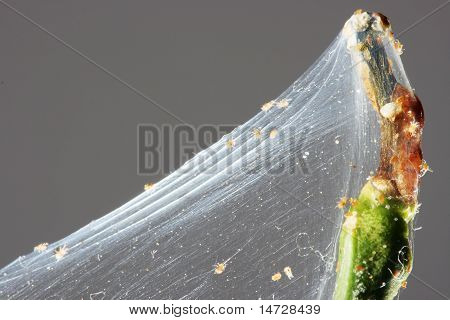Spider Mite On The Branch Of A Lemon