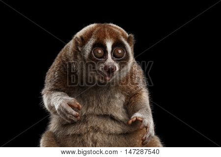 Close-up Face of Funny Animal Lemur Slow Loris Sitting and Stare with opened mouth Isolated Black background