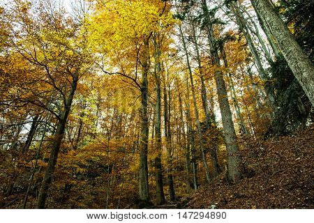 Autumn colorful forest. Natural seasonal scenery. Beautiful tall trees. Yellow scenery. Vibrant colors.