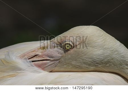Flamingo bird. Closeup sleeping flamingo. Bird portrait asleep