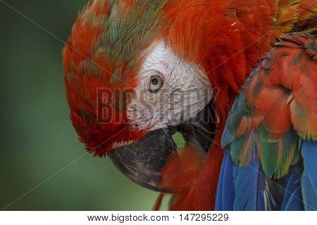 Scarlet Macaw. Bird preening feathers. Closeup bird portrait.