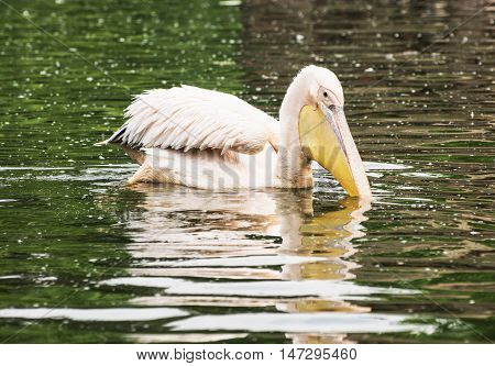 Great white pelican - Pelecanus onocrotalus - is reflected on the shimmering lake. Big bird portrait. Beauty in nature. Animal scene.