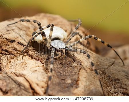 Closeup Spider-patisson (argiope lobata) on brown snag