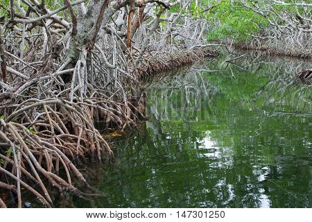 Danger Mangroves in the Florida everglades, USA