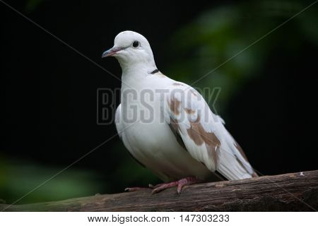 Spotted dove (Spilopelia chinensis chinensis). Wildlife bird.