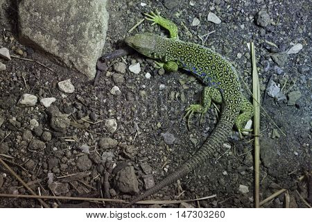 Ocellated lizard (Timon lepidus), also known as the jeweled lacerta. Wildlife animal.
