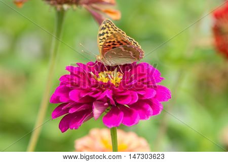 Perlamutrovka butterfly collects nectar on a flower