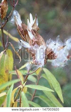 Milkweed Pods with Seeds Being Dispersed in the Wind