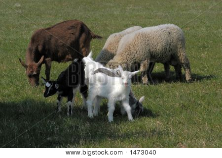 New Born Young Goats With Her Mother Goat And Two Lambs