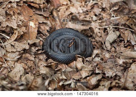 European viper (Vipera berus), also known as the European adder. Mountain melanistic form. Wildlife animal.