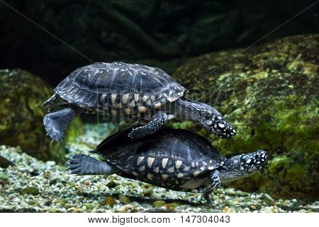 Black pond turtle (Geoclemys hamiltonii), also known as the Indian spotted turtle. Wildlife animal.