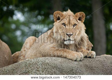 Juvenile male lion (Panthera leo). Wildlife animal.