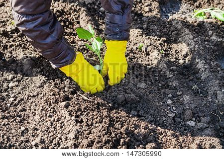Farmer Planting Sprout Of Cabbage In Plowed Land