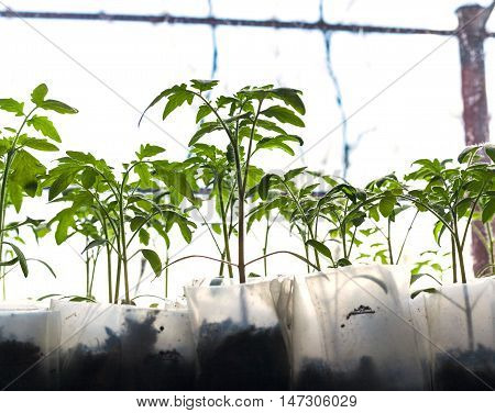 Young Sprouts Of Tomato Plant In Glasshouse