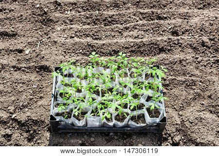 Box With Young Green Seedlings Of Tomato Plant