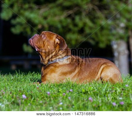 Dogue de Bordeaux or French Mastiff is lying on the grass in early autumn in September in the park, green grass and trees in the background