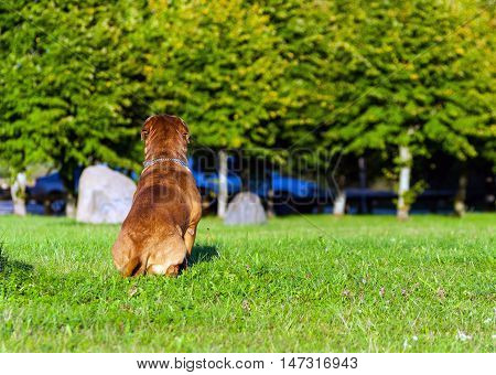 Dogue de Bordeaux or French Mastiff running through the grass in early autumn in September in the park, green grass and trees in the background, the car in the distance, sitting back
