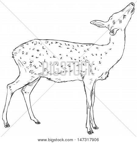 Vector Sketch Dappled Deer