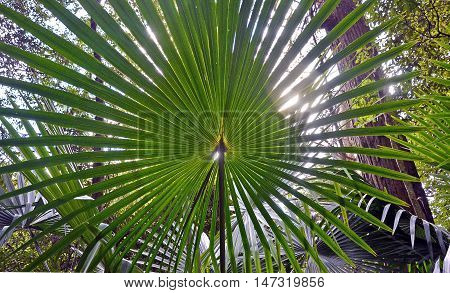Back lit fan-shaped Cabbage Tree Palm Leaves (Livistona australis) in rainforest in the Royal National Park, New South Wales, Australia
