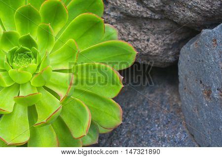 Thirst To The Life.  Sempervivum  Growing On The Volcanic Stones