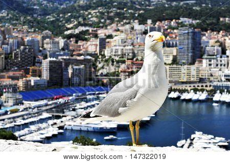closeup of a seagull with the Port Hercules in La Condamine and Monte Carlo, in Monaco, in the background