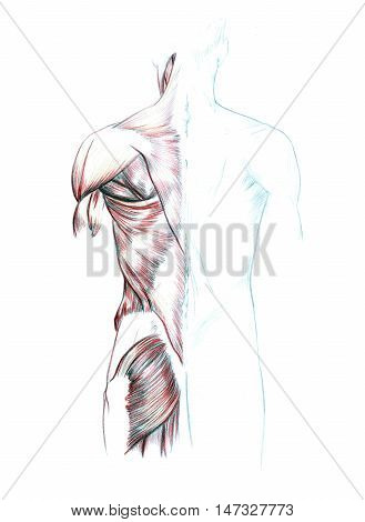 Hand drawn medical illustration drawing with imitation of lithography: Muscles of back, shoulders and buttocks