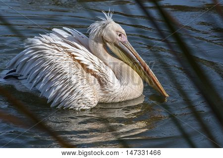 White pelican is on the blue water