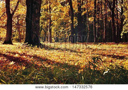 Autumn colorful landscape with yellowed autumn trees. Autumn forest in early autumn time with fallen dry autumn leaves lit by sunset light. Beautiful autumn nature. Soft filter applied.