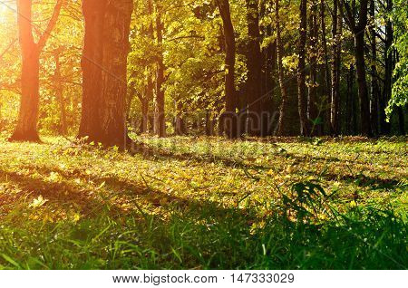 Sunny autumn view of yellowed autumn forest.Autumn landscape with yellow autumn trees. Autumn picturesque forest in early autumn with fallen dry autumn leaves under sunshine. Colorful autumn nature.