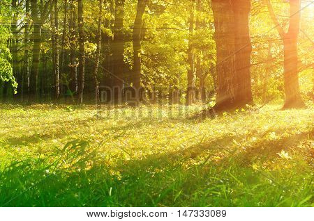 Autumn picturesque forest in early autumn with fallen dry autumn leaves and sunbeams. Sunset autumn view of yellowed autumn forest.Autumn landscape with yellowed autumn trees. Colorful autumn nature.