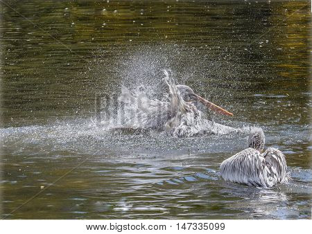 The pelican flaps its wings to catch a fish.