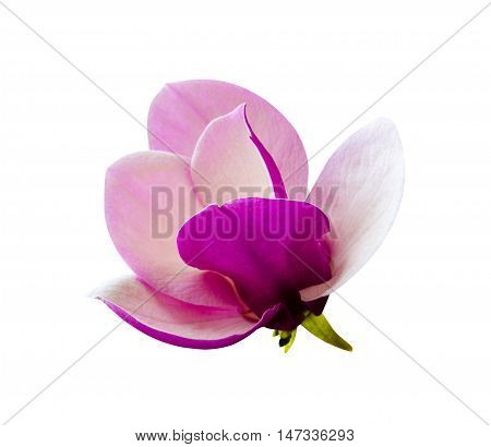 decoration of few magnolia flowers. pink magnolia flower isolated on white background. Magnolia. Magnolia flower. Magnolia flower spring branch isolated on white clipping path included.